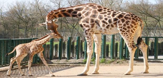 Žirafí mládě se svou matkou.