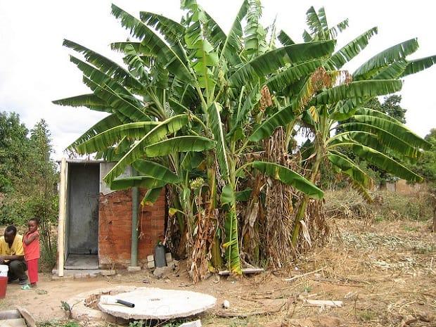 Banánovník patří mezi nejvyšší a nejmohutnější byliny na světě.
