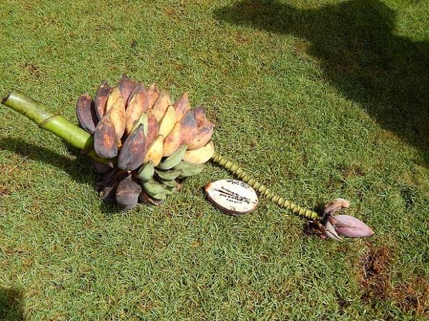 Původní odrůda banánů obsahovala velká semena.