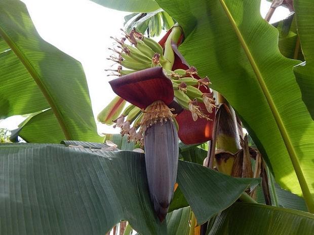 Kvetoucí banánovník.
