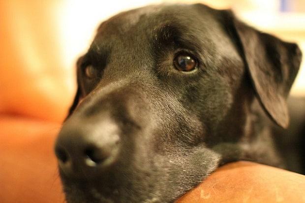 Psi jsou obvykle velmi kontaktní a lidskou přítomnost si velmi užívají.