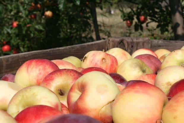 Jablka jsou ideální na cesty.