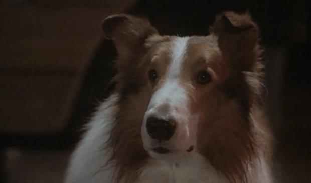 Lassie je asi největší zvířecí filmovou hvězdou.
