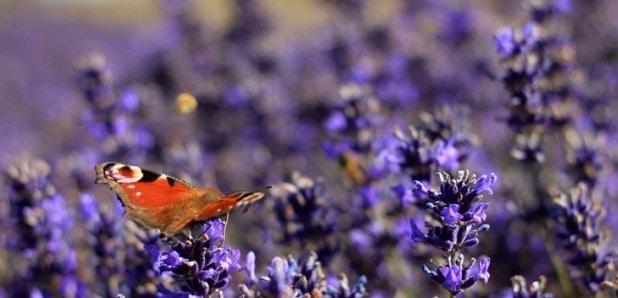 Levandule odpuzuje hmyz, a to především komáry.