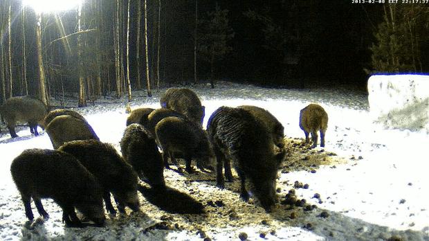Divoká prasata hodují.