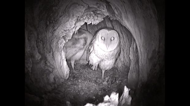 Krásná sova pálená v hnízdu.