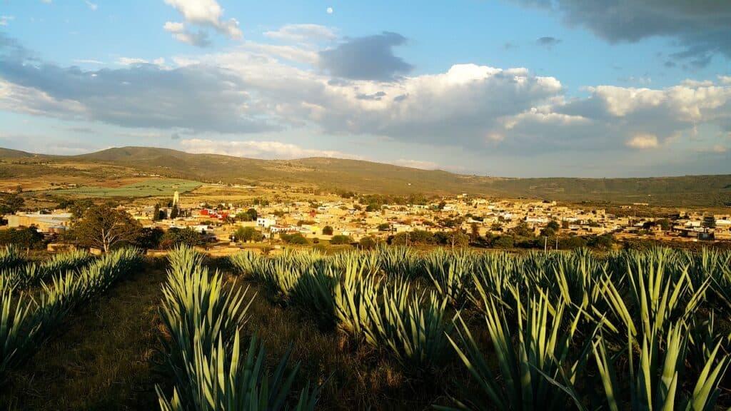Mexiko - jak roste agáve na tequilu